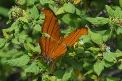 Papillon - vue supérieure vermeille de Daggerwing- Image libre de droits