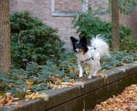 Papillon walking in campus during autumn season Royalty Free Stock Image
