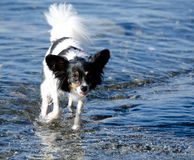 Papillon walks in clear shallow water.  Royalty Free Stock Image