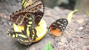 Papillons alimentant avec du jus Photos libres de droits