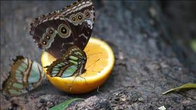 Papillons alimentant avec le jus d'orange Photos libres de droits