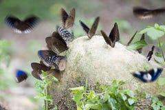 Papillons colorés en parc national de Khao Yai, Thaïlande Images libres de droits