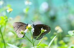 Papillons colorés joignant dans l'amour sur les fleurs Photographie stock libre de droits
