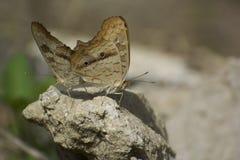 Papillons communs de accouplement de maronnier américain Photographie stock libre de droits