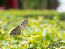 Papillons d'élevage Image libre de droits