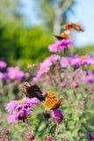 Papillons d'oeil de paon et reine de fritillaire de l'Espagne sur les asters Images stock
