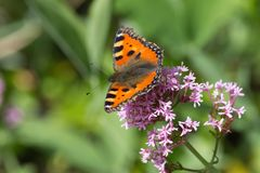 Papillons dans le jardin de cottage Images libres de droits