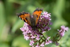 Papillons dans le jardin de cottage Photographie stock