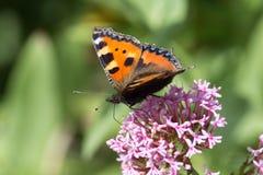 Papillons dans le jardin de cottage Image libre de droits