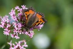Papillons dans le jardin de cottage Images stock