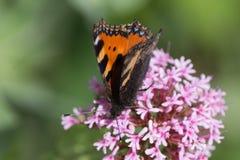 Papillons dans le jardin de cottage Image stock