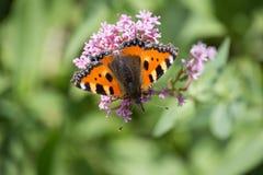 Papillons dans le jardin de cottage Photos libres de droits