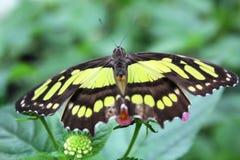 Papillons dans le jardin des papillons Photographie stock