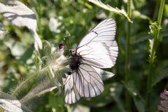 papillons Danse de l'amour Images stock