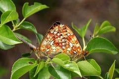 Papillons de accouplement images libres de droits