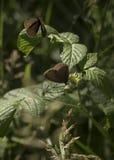 Papillons de boucle, Tentsmuir photographie stock libre de droits