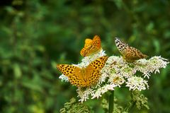Papillons de couleur orange se reposant sur une fleur sauvage blanche près d'une forêt avec l'un d'entre eux faisant face à l'app image libre de droits