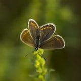 papillons de Cuivre-papillon Images libres de droits