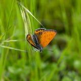 papillons de Cuivre-papillon Photographie stock
