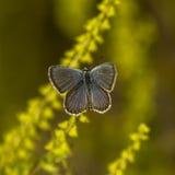 papillons de Cuivre-papillon Photos stock