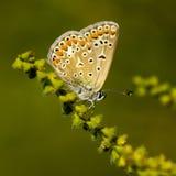 papillons de Cuivre-papillon Photographie stock libre de droits