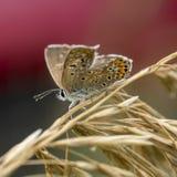 papillons de Cuivre-papillon Images stock