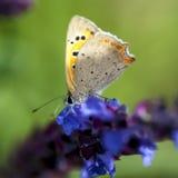 papillons de Cuivre-papillon Photo stock