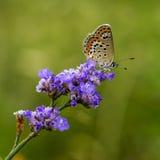 papillons de Cuivre-papillon Photo libre de droits