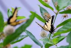 Papillons de machaon sur des Wildflowers Photo stock