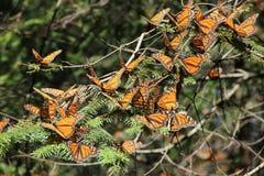 Papillons de monarque Photo stock