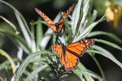 Papillons de monarque Image libre de droits
