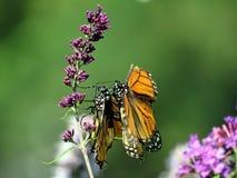 Papillons de monarque de lac toronto faisant l'amour 2016 Photo stock