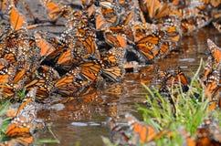 Papillons de monarque, Michoacan, Mexique photos stock