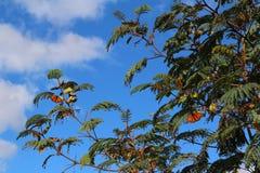 Papillons de monarque oranges dans un arbre contre le ciel bleu dedans photo libre de droits