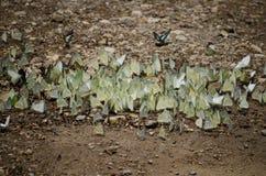 Papillons de réunion Images stock