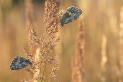 Papillons de repos noirs et blancs sur une lame Photos libres de droits