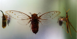Papillons de Stauffer Images libres de droits