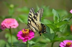 Papillons en été Photo libre de droits