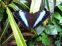 Papillons en serre chaude Photo stock