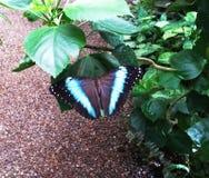 Papillons en serre chaude Image libre de droits
