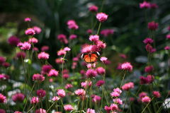 Papillons et fleurs Photographie stock