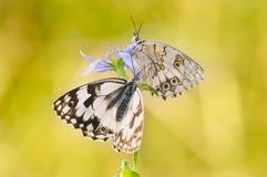 Papillons se dorant au soleil Photo libre de droits