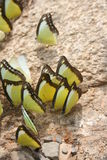 Papillons sociaux sur le côté de cascade Photos libres de droits