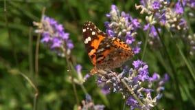 Papillons sur des fleurs de lavande clips vidéos