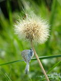 Papillons sur l'officinale de Taraxacum Photos stock