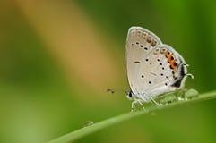 Papillon sur la brindille, papillon bleu Photos libres de droits