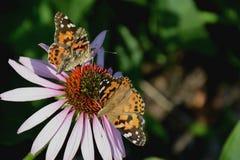 Papillons sur la fleur Images libres de droits