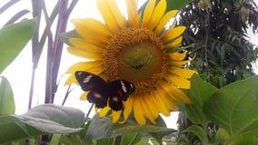 Papillons sur le tournesol de floraison images stock