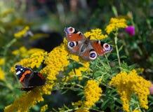 Papillons sur les fleurs jaunes Photo stock