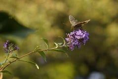 papillons ?t? La beaut? naturelle de la Russie photographie stock
